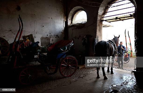 Angelo Sed president of the Romans horsedrawn carriage drivers prepares his horse 'Inventore' before a day of work on October 2 2014 in Rome The...