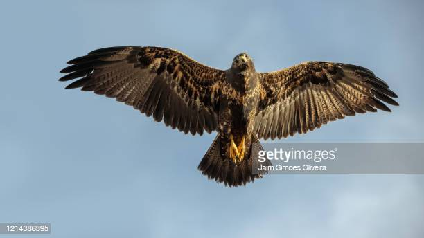 angels of nature: black-chested buzzard-eagle with spread wings - águia serrana - fotografias e filmes do acervo