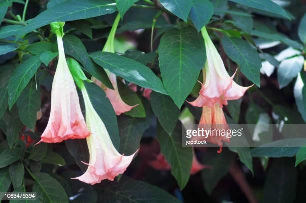 Angel's trumpets flower