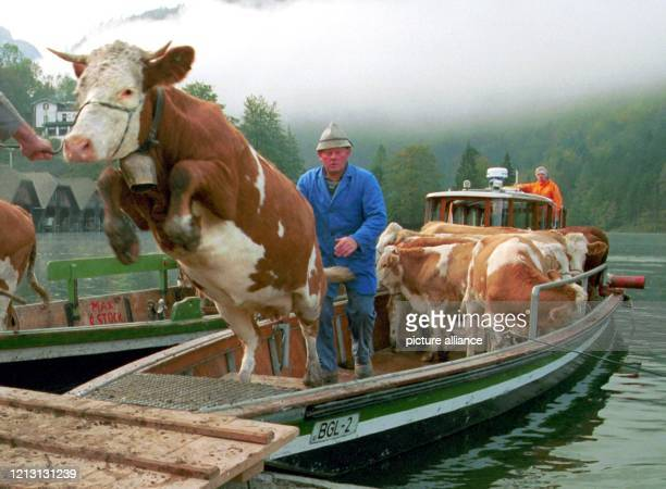 Angetrieben von einem Landwirt, versucht eine Kuh am 8.10.1999 in Schönau nach ihrer Fahrt in einem Landauer über den Königssee mit einem großen...