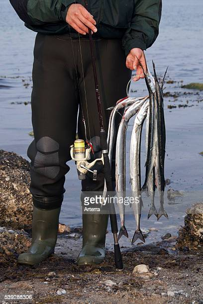 Angler with caught Garfish Germany