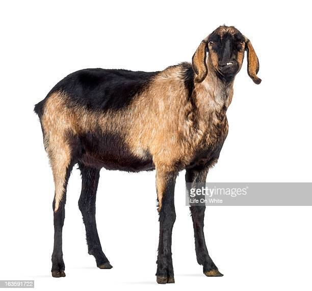 Anglo-Nubian goat with a distorted jaw