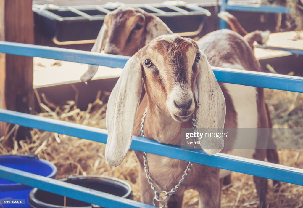 Anglo-Nubian lop earred goats on display in their pen at the county fair : Stock Photo