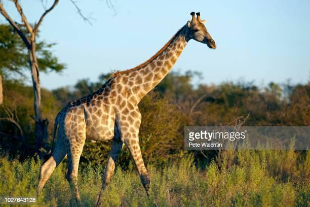 angolan giraffe or smoky giraffe (giraffa camelopardalis angolensis), okavango delta, botswana - {{asset.href}} stock pictures, royalty-free photos & images