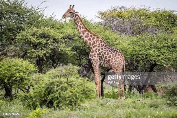 Angolan giraffes grazing in Etosha National Park located in Namibia Africa