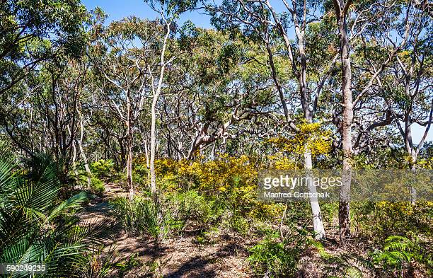 Angophora and cycads at Bullimah Spur