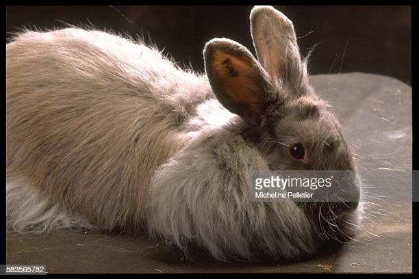 Angora fox rabbit