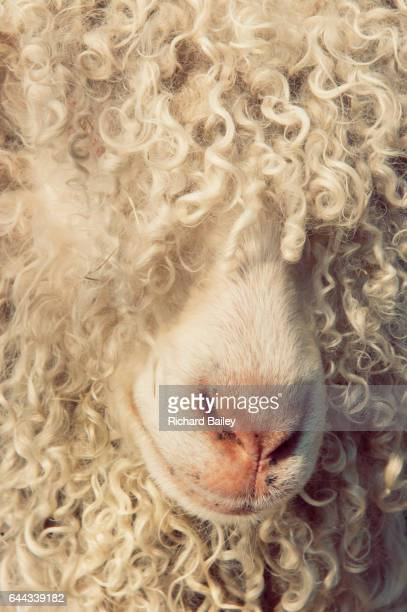 Angora Goat, Close up of wool.