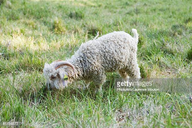 Angora goat grazing in field