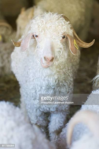 Angora goat in barn, looking at camera