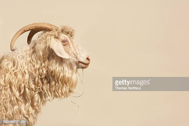 angora goat, side view - beige stock pictures, royalty-free photos & images