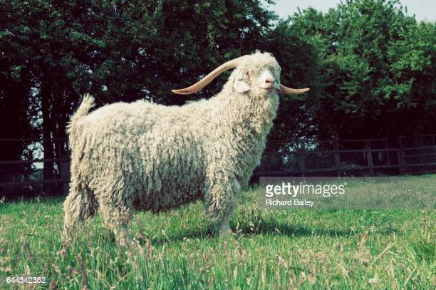 Angora Goat standing in field