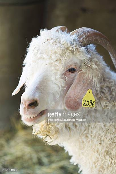 Angora goat with identification tag on ear, close-up