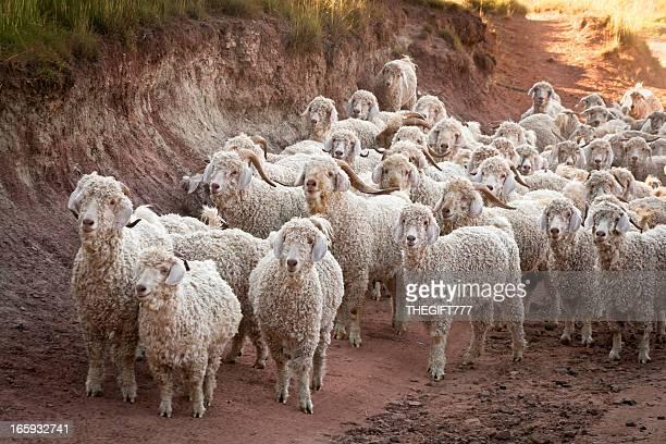 Angora chèvres et de moutons sur la manière de leur stylos