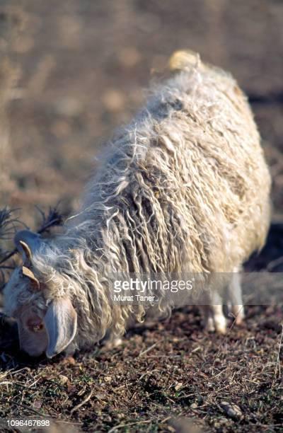 Angora wool goat