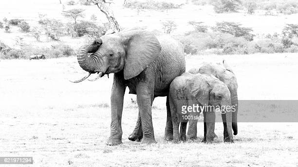 Angry African Female Elephant with Calfs at Masai Mara