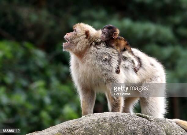 Angry Barbary Macaque (Macaca sylvanus)