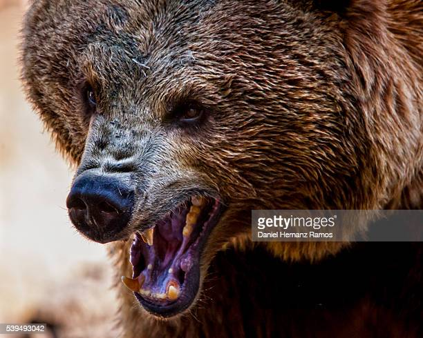 angry bear. head shot. detailed view - ours brun photos et images de collection