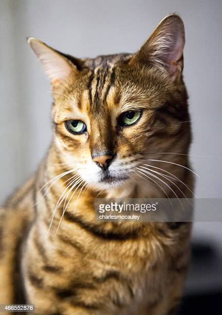 A domestic Bengal cat with a sad, angry, grumpy, tired look.