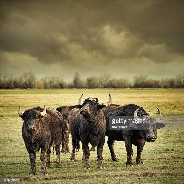 angry buffalos - bull animal stock photos and pictures