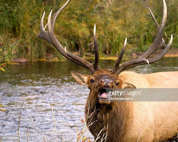 wütende bull river elk - manly wilder stock-fotos und bilder