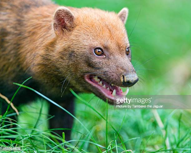 angry bush dog - bush dog stock pictures, royalty-free photos & images