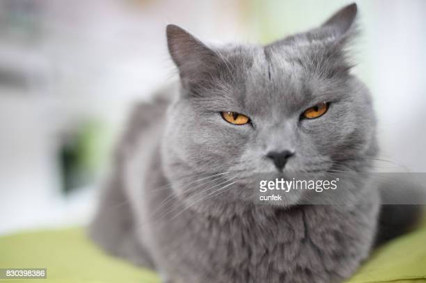 Angry Cat On The Chair