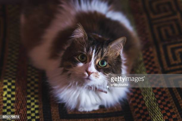 angry cat - purebred cat stock pictures, royalty-free photos & images