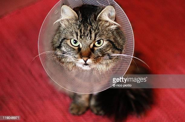 angry cat with elizabethan collar - elizabethan collar fotografías e imágenes de stock