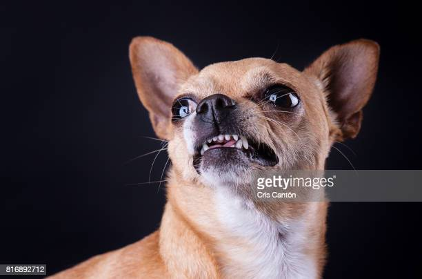 angry chihuahua dog - bad teeth stock photos and pictures