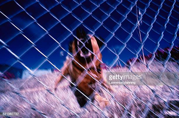 angry dog behind a fence - guard dog stock photos and pictures