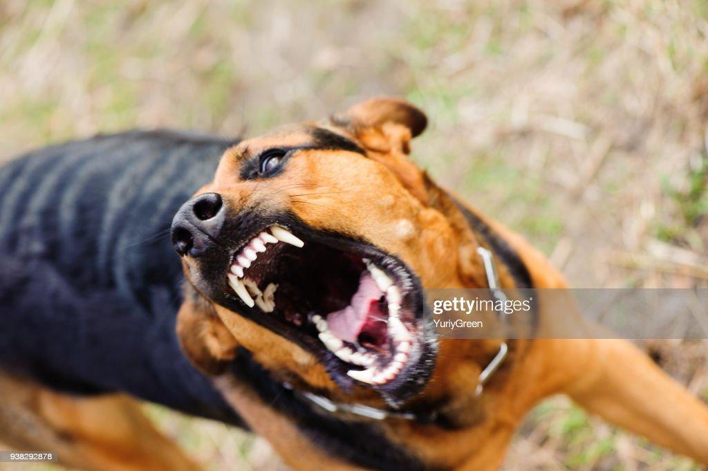 angry dog with bared teeth : Stock Photo