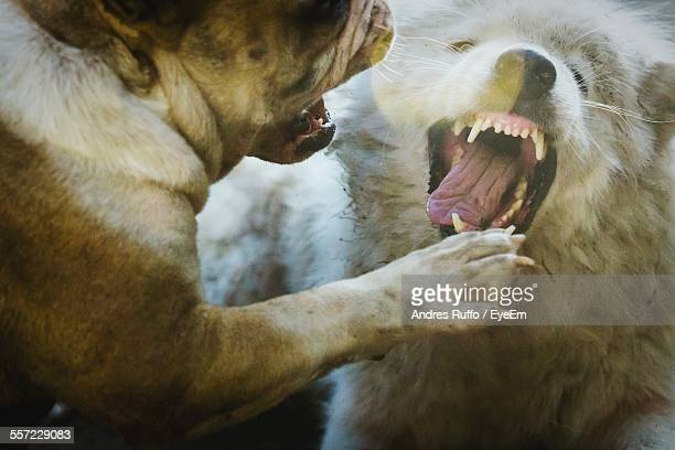 angry dogs fighting outdoors - dog fight stock pictures, royalty-free photos & images