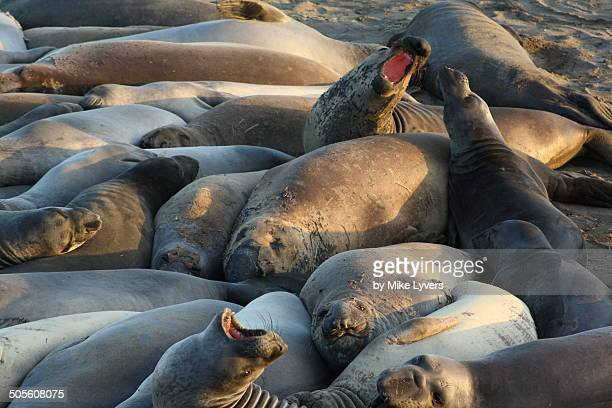Angry elephant seals