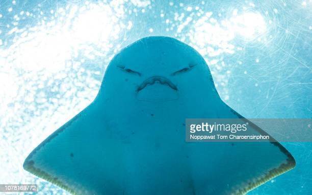 angry fish, thailand - ray fish stock photos and pictures