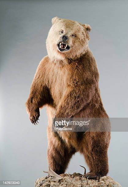 Angry Grizzly Bear on Hind Legs