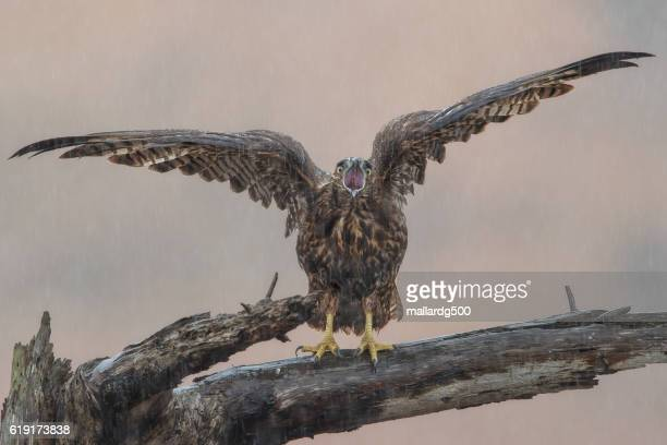 angry hawk - red tailed hawk stock photos and pictures