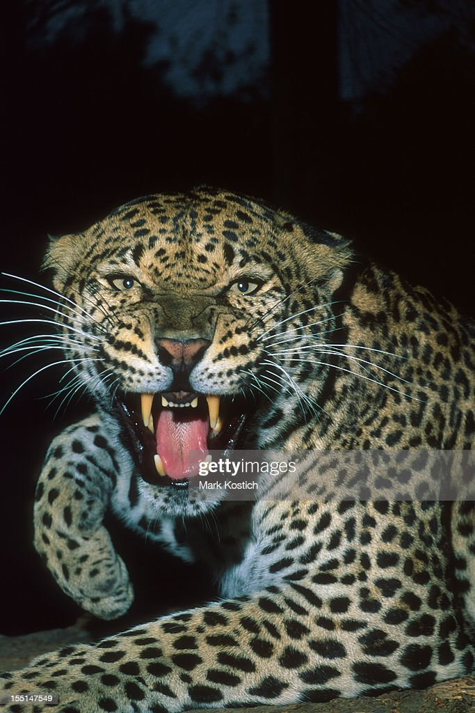 Angry Leopard Growling : Stock Photo