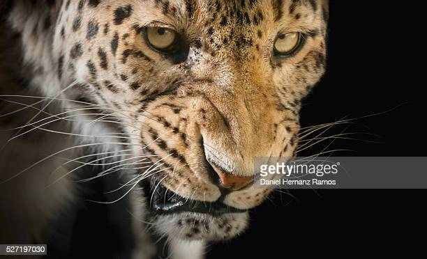 angry leopard - dark panthera stock pictures, royalty-free photos & images