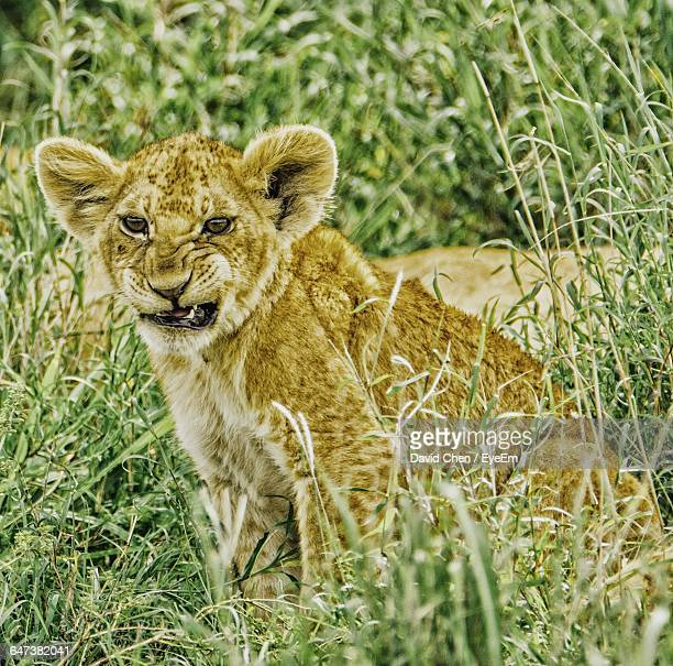 Angry Lion Cub Sitting On Grass
