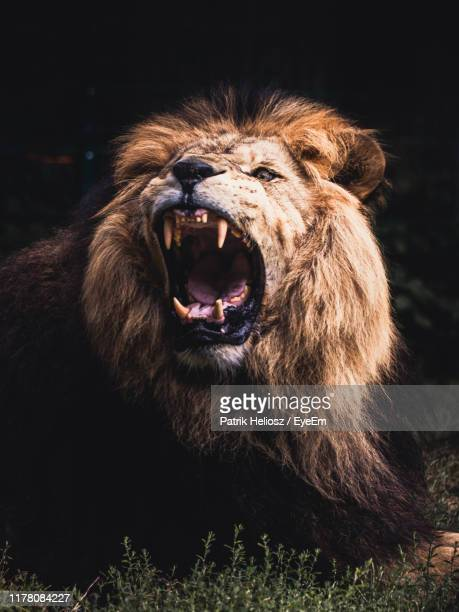 angry lion resting on field - lion stock pictures, royalty-free photos & images
