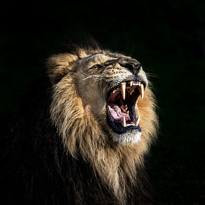 Angry lion roaring 1184240863