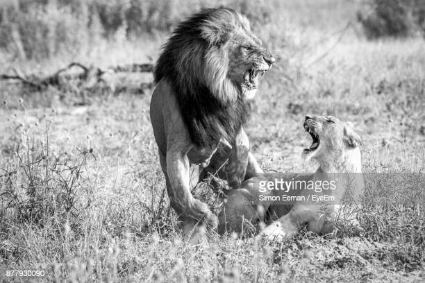 Angry Lions On Grassy Field