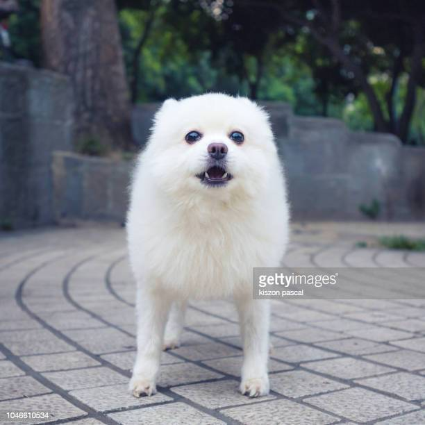 angry little fluffy dog in the street - pomeranian stock photos and pictures