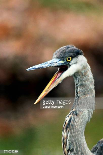 angry looking great blue heron (ardea herodias) with bill open in new hampshire, usa - beak stock pictures, royalty-free photos & images