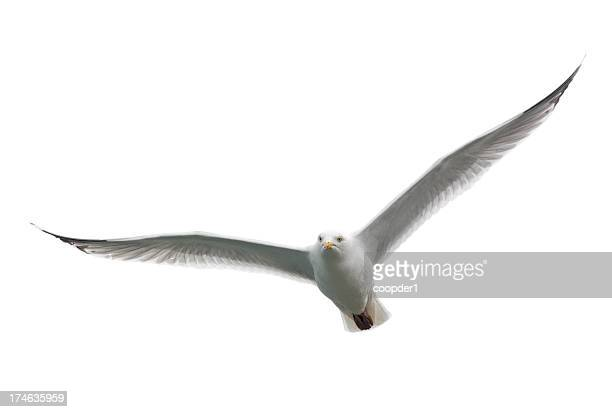 Angry looking white seagull flying toward camera