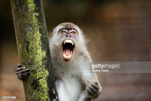 angry monkey - monkey stock pictures, royalty-free photos & images