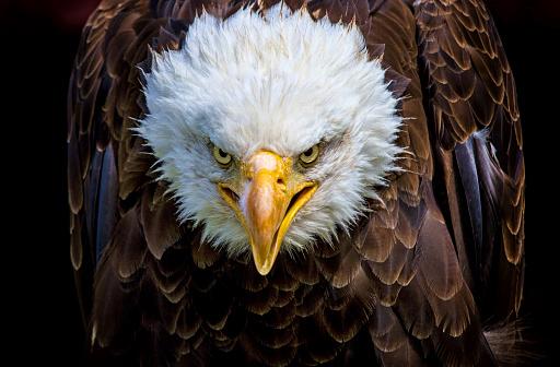 Angry north american bald eagle 576728224