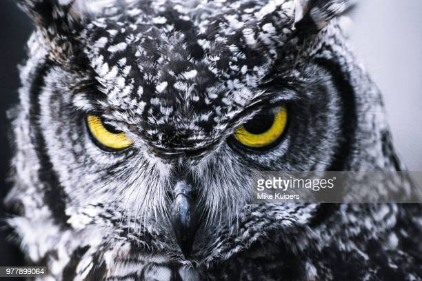 angry owl - birds_of_prey stock pictures, royalty-free photos & images