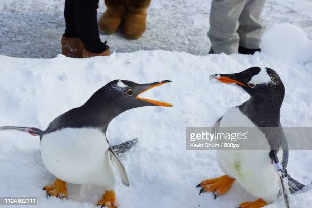 angry penguin - kevin shum foto e immagini stock
